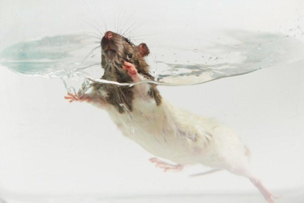 Ratte schwimmt